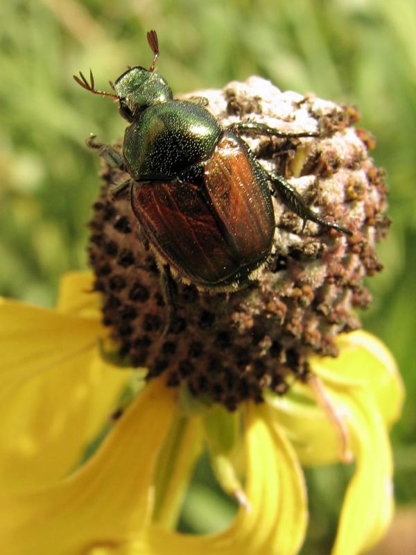 Goose Lake Prairie State Park Japanese Beetle