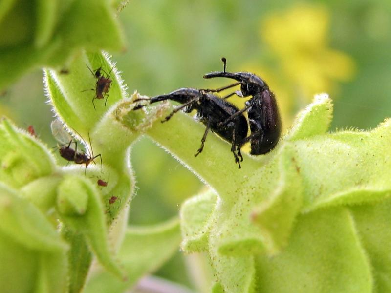 Goose Lake Prairie State Park Weevil