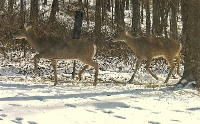 Whitetail  Deer - Deer are everywhere in the Hocking Hills, including our yard