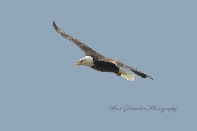 My First Eagle Shot -  I used a 500 MM mirror lens, I had to crop it a lot, it was totally over-exposed, but i