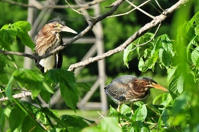 Green Heron Siblings -  We watched these herrons grow from the nest that was right beside the road at Lake Logan.