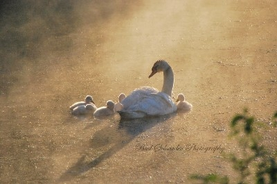 The Swans in a Morning Mist -   Our first Swan family, and it seemed the whole county was in a tizzy over them. On one of my many morning trips I caught this neat scene.