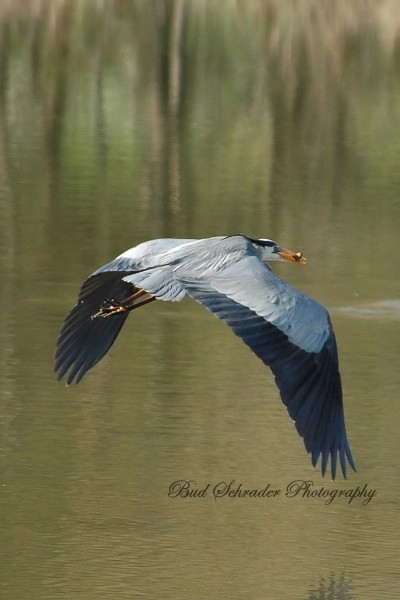 Heron With Food in Flight - This one wanted to eat in peace, so it flew off right after the catch.
