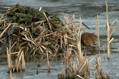 Napping Muskrat - At Lake Logan. He appears to be napping, there was no activity here.