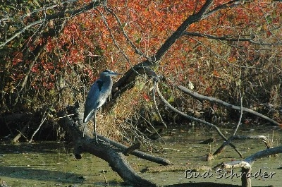 Fall Heron - These guys are really easy to shoot. Some of my earlier work.