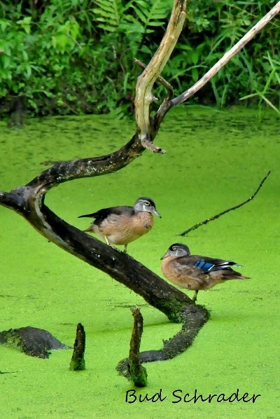 Baby Wood Ducks - Thank -you for the pose. Shot at Lake Logan of course