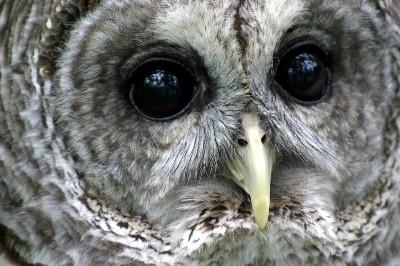 Bard Owl Closeup