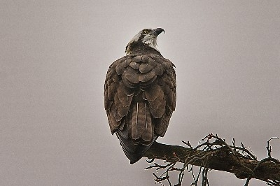 Osprey at Lake Logan - A rare find, for me at least