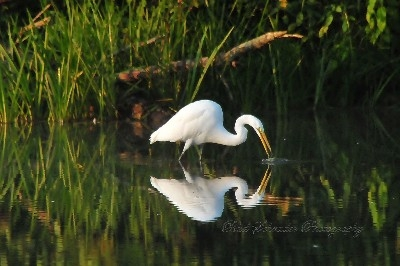 Egret At Lake Logan - These beautiful birds show up at Lake Logan every once in a while, and I felt fortunate to show up at the same time. It was early morning and the water was calm. I love reflections!