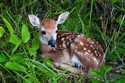 Baby, lost without mom - Rescued deer that already had lost its fear