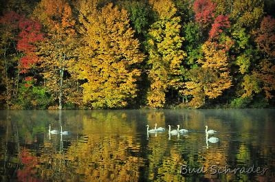 Swan Family, Fall on the Lake - I spent he better part of the morning following this family                                                          down the lake untill I had this backdrop, one of my favorites.